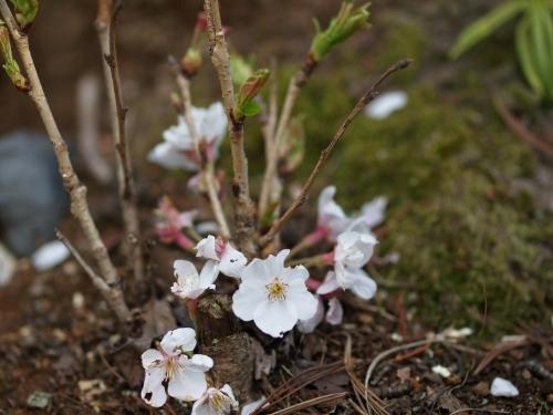地に咲く桜